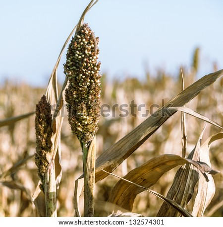 Sorghum ear on a field closeup. Agricultural landscape with harvest of sorghum cereal - grass family for the biofuel and fodder plants. Grain sorghum crop, cultivated in Africa and Asia. - stock photo