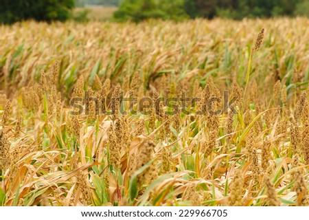 Sorghum field in Kinmen, Taiwan - stock photo