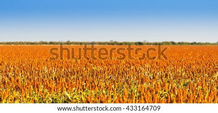 Sorghum grains growing in endless fields ready for harvest