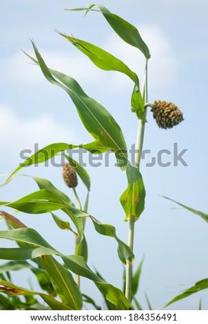 Sorghum, Jowar, crop, closeup, rural village, Salunkwadi, Beed, Maharashtra, India, South east Asia - stock photo