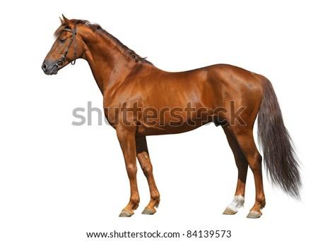Sorrel Don horse isolated on white - stock photo