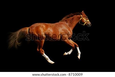 sorrel horse gallops - isolated on black - stock photo