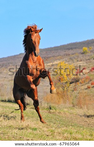 Sorrel horse rearing in field - stock photo