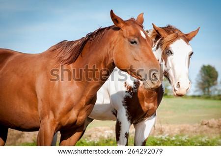 Sorrel horses - stock photo