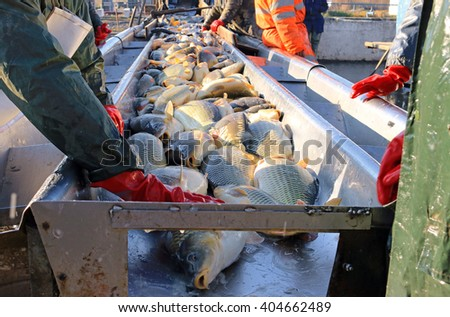 Sorting a freshwater fish out of the fish pond and preparing for sale - stock photo