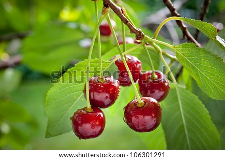 sour cherries on the branch - stock photo