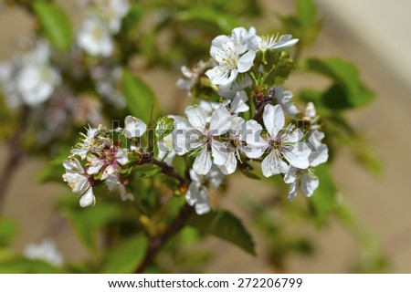 Sour cherry tree with beautiful white flowers on a branch. - stock photo