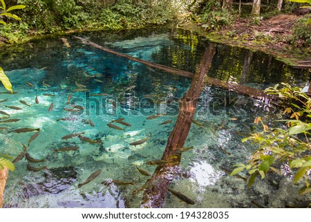 Source of the Salobra river with fishes piraputanga, piau, dourado and others - Nobres - MT - Brazil - stock photo