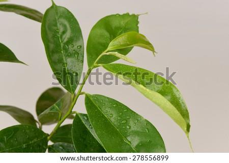 Soursop, Prickly Custard Apple, tree,Medicinal properties, to treat cancer. - stock photo