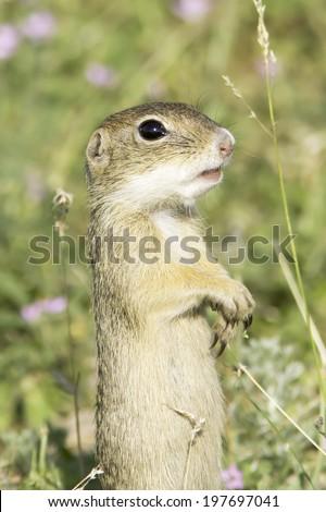 Souslik or European Ground Squirrel (Spermophilus citellus) - stock photo