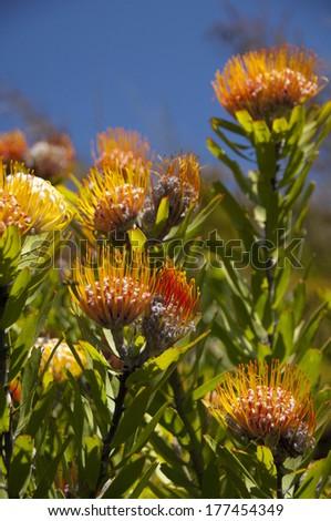 South Africa, Cape Town, Kirstenbosch National Botanical Garden. Protea Garden, indigenous pincushion protea flower. - stock photo