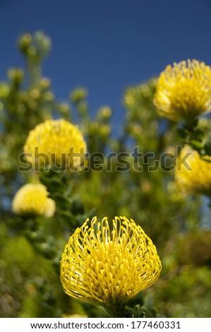 South Africa, Cape Town, Kirstenbosch National Botanical Garden. Yellow pincushion protea (aka Kleinkopspeldekussing or Berfynbos) Leucospermum trunchatulum. - stock photo