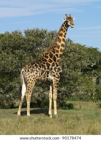 South Africa East Cape -  Wild adult Giraffe in the African bush
