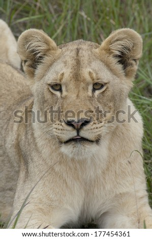 South Africa, East London, Inkwenkwezi Private Game Reserve. Wild African lion cub (Panthera leo)