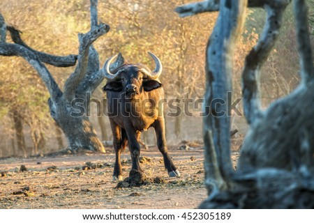 South africa game drive in the early morning. Curious buffalo between gnarled trees watches the viewer. The early morning sun gives the photo an appearance of a classic painting. - stock photo
