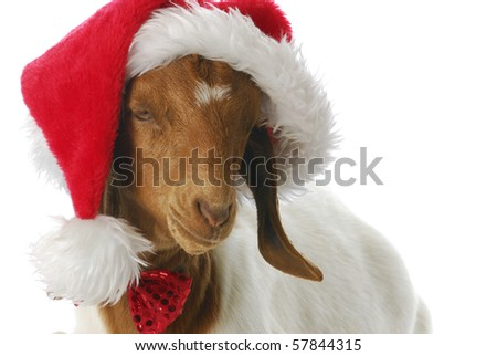 south african boer goat doeling dressed up ln santa hat on white background - stock photo