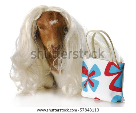 south african boer goat doeling dressed up with blonde wig and purse with reflection on white background - stock photo