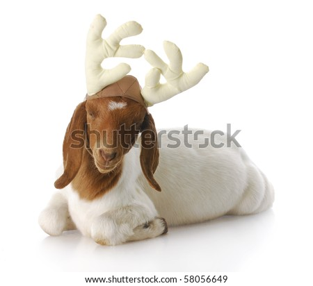 south african boer goat doeling dressed up with reindeer antlers with reflection on white background - stock photo