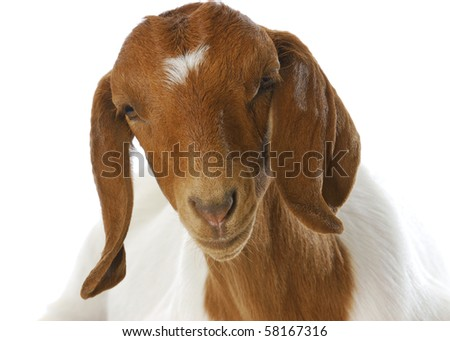 south african boer goat doeling portrait on white background