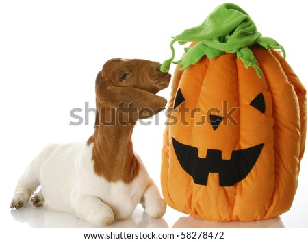 south african boer goat sniffing halloween pumpkin with reflection on white background - stock photo