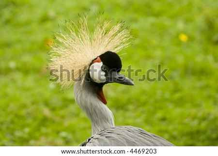 South African Crowned Crane (Balearica regulorum regulorum) - landscape orientation - stock photo