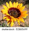 South African daisy - stock photo