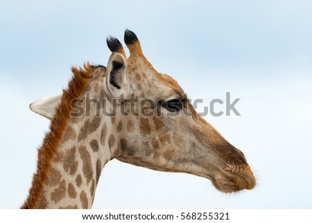 South African giraffe, close up, Namibia