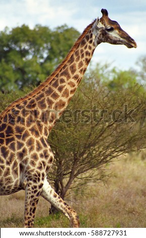 South African giraffe, Kruger National Park, South African Republic