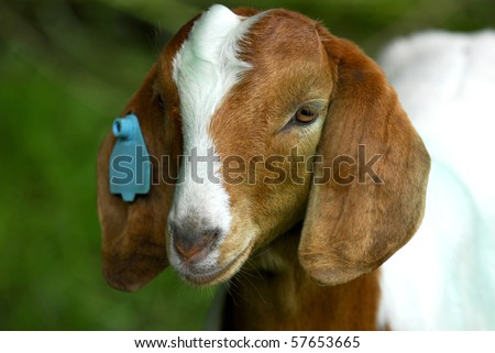 south african goat doeling out in the pasture - stock photo