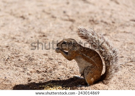 South African ground squirrel Xerus inauris,with a raised tail eats food,Kalahari, South Africa  - stock photo