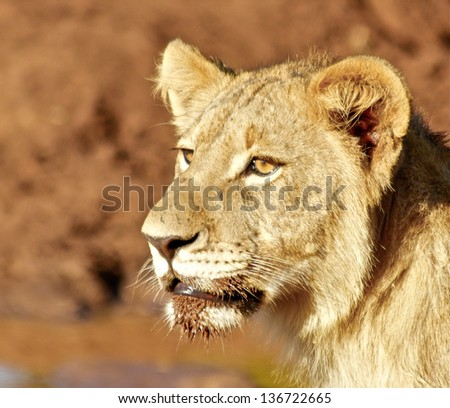 South African Lion cub side profile