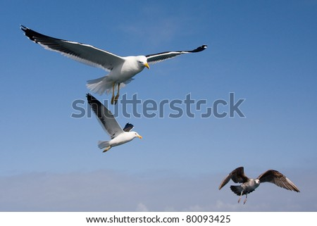 South african sea gulls. - stock photo