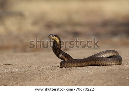 South African Snouted Cobra - stock photo