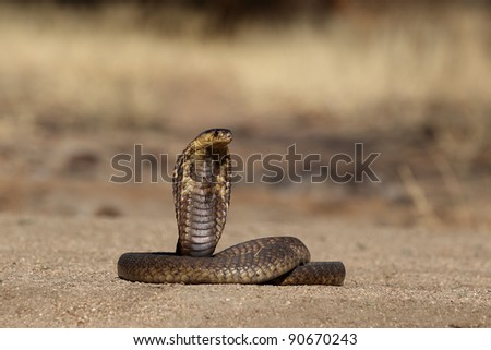 South African Snouted Cobra with handlers tool in frame