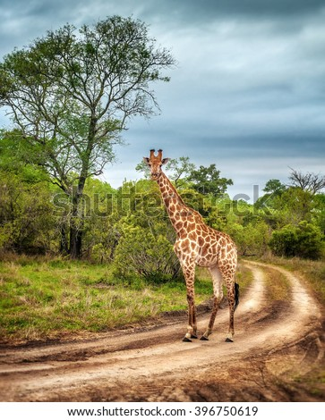 South African wildlife, wild giraffe on a walk, beautiful great animal, big five, bush safari game drive, Kruger National Park Reserve, travel South Africa 