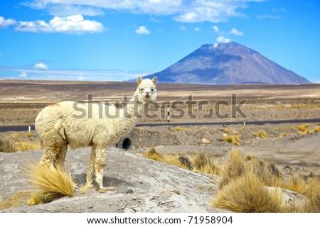 South America Alpaca with Volcano EL Misti - stock photo