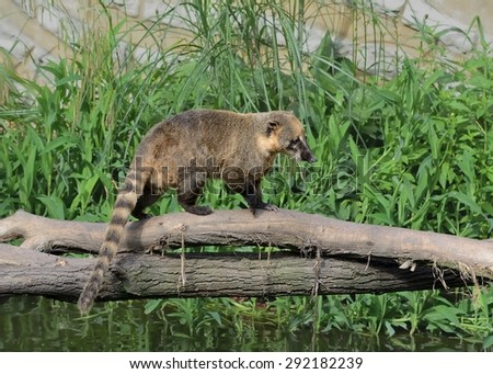 South American Coati (Nasua nasua) on a bridge