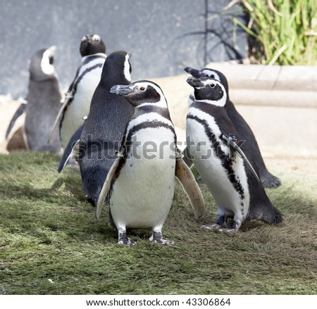 South American humboldt penguin's