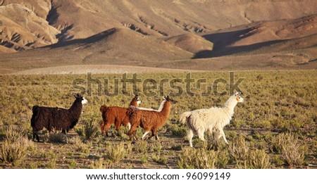South American Llamas - stock photo