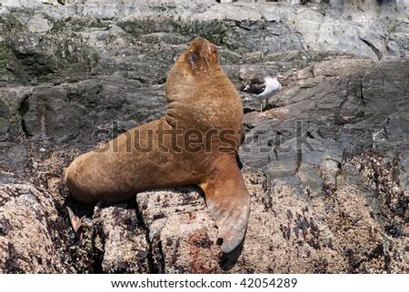 South American Sea Lion (Otaria flavescens) - stock photo