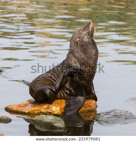 South American sea lion resting on a rock - stock photo