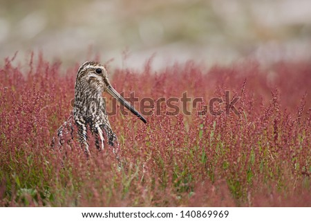 South American Snipe (Gallinago paraguaiae magellanica), Magellanic subspecies, foraging among red flowers on Carcass Island in the Falklands.