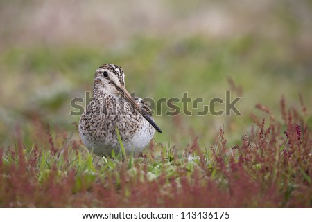 South American Snipe (Gallinago paraguaiae magellanica), Magellanic subspecies, foraging among red flowers on Carcass Island in the Falklands. - stock photo