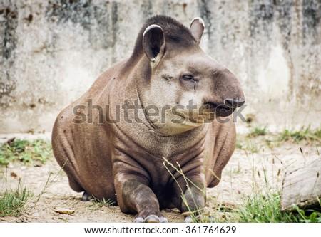 South American tapir (Tapirus terrestris) also know as Brazilian tapir and Lowland tapir. Endangered animal species. - stock photo