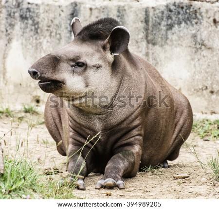 South American tapir - Tapirus terrestris - also know as Brazilian tapir and Lowland tapir. Endangered animal species. Beauty in nature. - stock photo