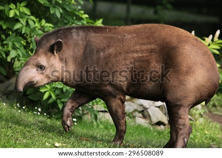South American tapir (Tapirus terrestris), also known as the Brazilian tapir. Wildlife animal.  - stock photo