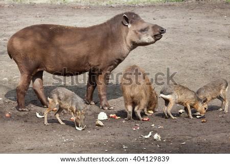 South American tapir (Tapirus terrestris), also known as the Brazilian tapir, with Capybara (Hydrochoerus hydrochaeris) and Patagonian mara (Dolichotis patagonum). Wild life animal.  - stock photo
