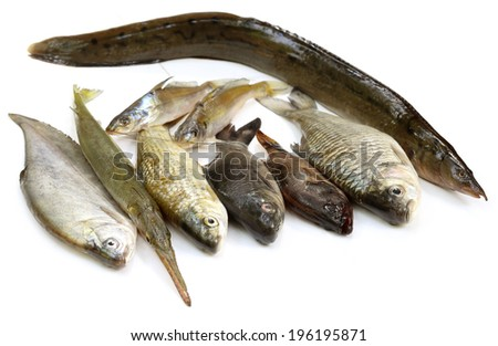South Asian fishes over white - stock photo