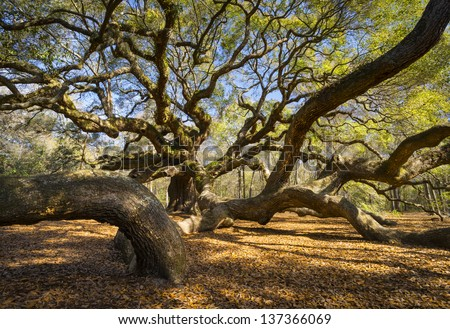South Carolina Lowcountry Angel Oak Tree Charleston SC Nature Scenic spring landscape photography - stock photo