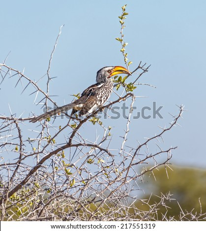 Southem yellow-billed hombill in Etosha National Park - Namibia, South-West Africa - stock photo